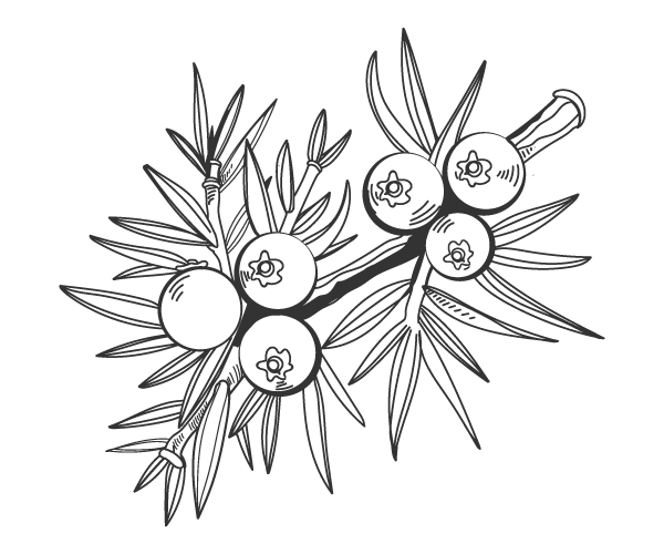 Our Products: Drawing of juniper berries